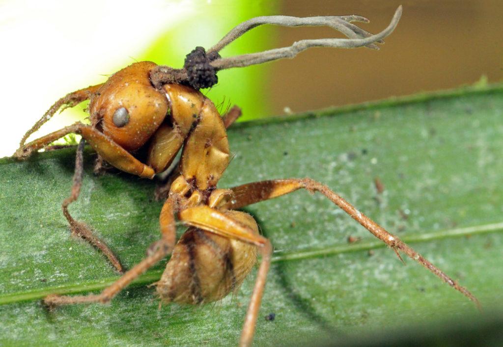 Ophiocordyceps camponoti-balzani D Hughes ed smaller